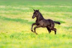 Colt run gallop Royalty Free Stock Photo