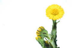 colt's foot flower Royalty Free Stock Image