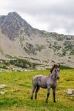 Colt sauvage dans les montagnes Photo libre de droits
