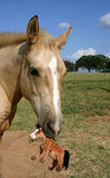 Colt with Stuffed Toy. Palomino colt holding stuffed horse toy Royalty Free Stock Images