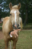 Colt with Toy. Palomino colt holding stuffed toy horse Royalty Free Stock Image
