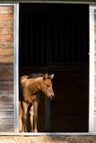 Colt waits by the door. A small colt stands just inside of the small stables and at the edge of light near Hayden, Idaho Stock Photo