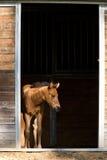 Colt wartet durch die Tür stockfoto