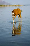 Colt in water with reflection Stock Images