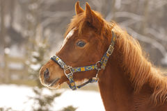 Colt in winter day. Look shy foal in  winter day Stock Photos