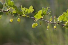 Coltiva le uva spina mature su un ramo Fotografie Stock