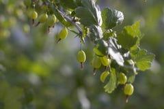 Coltiva le uva spina mature su un ramo Immagini Stock