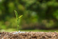 Coltivando e consolidando la piantina della plantula Immagine Stock Libera da Diritti