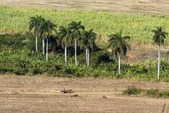 Coltivando sotto i palmtrees sulla Cuba Fotografia Stock