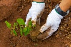 Coltivando un albero nella foresta per dare vita alla terra Immagini Stock Libere da Diritti