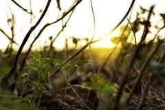 Coltivare i fagiolini ed i precedenti è l'alba fotografia stock libera da diritti