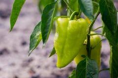 Coltivare il capsico dei peperoni dolci Peperoni non maturi nel veget Immagini Stock Libere da Diritti