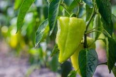 Coltivare il capsico dei peperoni dolci Peperoni non maturi nel veget Fotografie Stock