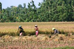 Coltivare le risaie Fotografia Stock Libera da Diritti
