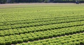 coltivato nei campi con lattuga verde sulla pianura di estate Immagine Stock Libera da Diritti