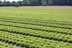 Coltivato nei campi immenso con lattuga verde Fotografia Stock