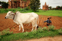 Coltivatore in Birmania Immagini Stock