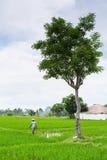 Coltivatore che lavora al giacimento del riso L'agricoltura fornisce l'occupazione alla popolazione più di di 38% in Indonesia Immagini Stock
