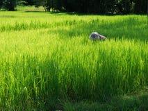 Coltivatore che lavora nel giacimento del riso Fotografia Stock Libera da Diritti