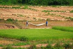 Coltivatore che lavora nel giacimento del riso Risaia del giacimento del riso in Tailandia Fotografie Stock