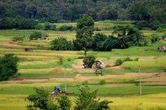 Coltivatore che lavora nel giacimento del riso Risaia del giacimento del riso in Tailandia Fotografia Stock