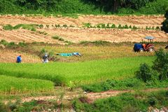 Coltivatore che lavora nel giacimento del riso Risaia del giacimento del riso in Tailandia Fotografie Stock Libere da Diritti