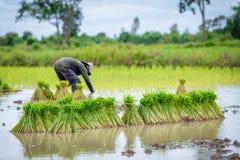 Coltivatore che pianta riso Fotografia Stock