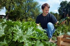 Coltivatore che raccoglie gli zucchini Fotografia Stock