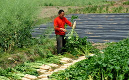 Pengzhou, Cina: Coltivatore che raccoglie i ravanelli Immagine Stock Libera da Diritti