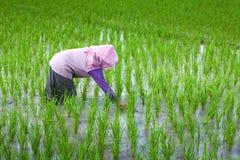 Coltivatore che tende il suo campo di risaia, Indonesia Fotografie Stock