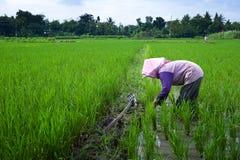 Coltivatore che tende un campo di risaia, Indonesia Fotografie Stock