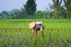 Coltivatore che tende un campo di risaia, Indonesia Immagine Stock Libera da Diritti