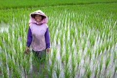 Coltivatore che tende un campo di risaia, Indonesia Immagine Stock