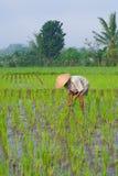Coltivatore che tende un campo di risaia, Indonesia Fotografia Stock