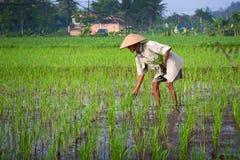 Coltivatore che tende un campo di risaia, Indonesia Fotografia Stock Libera da Diritti