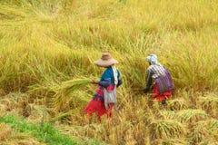 Coltivatore delle donne di Hilltribe nel giacimento del risone Immagini Stock