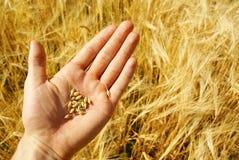 Coltivatore e campo di granulo, agricoltura Immagine Stock