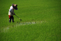 Coltivatore e campo di risaia Fotografie Stock Libere da Diritti