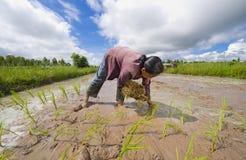 Coltivatore femminile del riso in Tailandia Immagini Stock