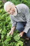 Coltivatore organico che controlla il raccolto delle barbabietole Fotografie Stock