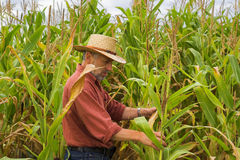 Coltivatore sul campo di mais Immagini Stock