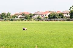 Coltivatore tailandese Fotografia Stock Libera da Diritti