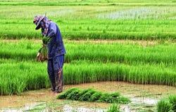 Coltivatore tailandese che pianta sul terreno coltivabile del risone Fotografia Stock