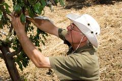 Coltivatore in un frutteto fotografie stock libere da diritti