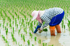 coltivatori asiatici Fotografia Stock Libera da Diritti