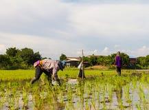 Coltivatori che piantano riso Immagine Stock