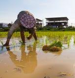Coltivatori che piantano riso Fotografia Stock