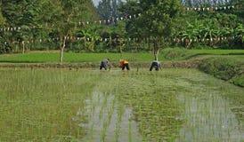 Coltivatori che piantano riso Fotografia Stock Libera da Diritti