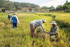 Coltivatori che raccolgono riso Immagini Stock