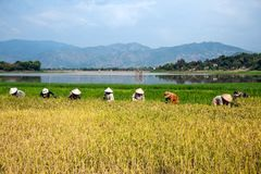 Coltivatori che raccolgono riso Fotografie Stock